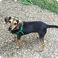 Beagle/Rat Terrier Mix Dog for adoption in Virginia Beach, Virginia - Eddie