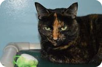 Domestic Shorthair Cat for adoption in Warren, Michigan - Kit Kat at Hazel Park