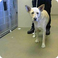 Labrador Retriever Mix Dog for adoption in Sacramento, California - A699647