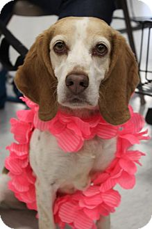 Beagle Dog for adoption in Livonia, Michigan - Victoria ♥