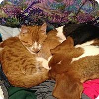 Adopt A Pet :: Callaway - Ypsilanti, MI
