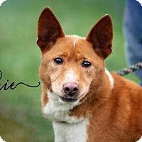 Adopt A Pet :: Elkie - Joliet, IL