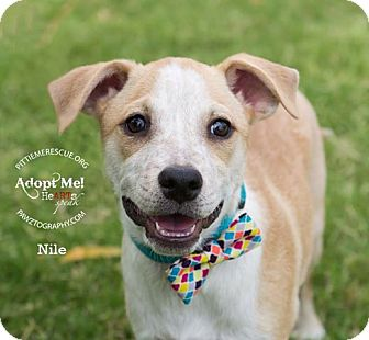 Cattle Dog/Shiba Inu Mix Puppy for adoption in Gilbert, Arizona - Nile