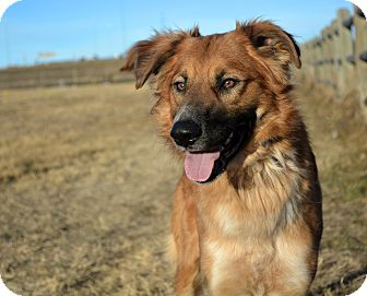 Shepherd (Unknown Type) Mix Dog for adoption in Cheyenne, Wyoming - Claus