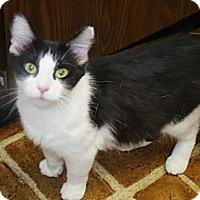 Adopt A Pet :: Pouncer - Kalamazoo, MI