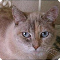 Siamese Cat for adoption in Austin, Texas - Cutie Pie
