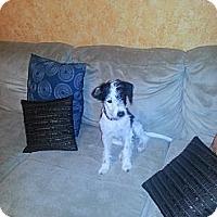 Adopt A Pet :: Oreo - Puppy girl in Houston - Houston, TX