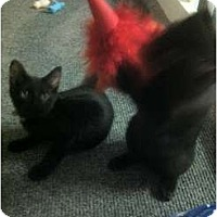 Adopt A Pet :: BrotherKittens*Courtesy - Xenia, OH