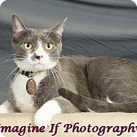 Domestic Shorthair Cat for adoption in Edmond, Oklahoma - Hugo