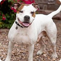 Adopt A Pet :: HARLEY 2 - Chandler, AZ