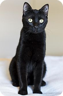 Domestic Shorthair Cat for adoption in Baton Rouge, Louisiana - Fritz