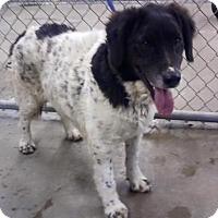 Adopt A Pet :: MOKIE - Cadiz, OH