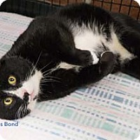 Adopt A Pet :: James Bond - Merrifield, VA