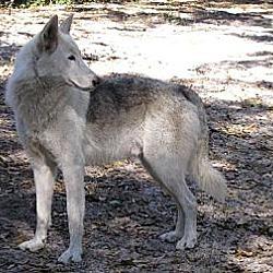 Photo 4 - German Shepherd Dog/Alaskan Malamute Mix Dog for adoption in Orlando, Florida - Wolfdog - Kito