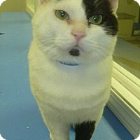 Domestic Shorthair Cat for adoption in Hamburg, New York - DC