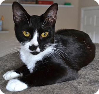 Domestic Shorthair Cat for adoption in Johnson City, Tennessee - Bambi