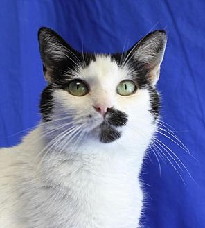 Domestic Shorthair Cat for adoption in Winston-Salem, North Carolina - Panda