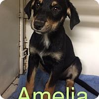 Adopt A Pet :: Amelia Adoption pending - Manchester, CT