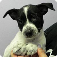 Adopt A Pet :: Cybill - Fresno, CA