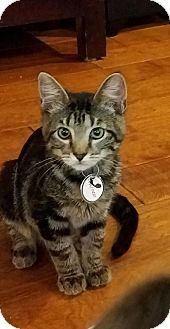 Domestic Shorthair Kitten for adoption in Littleton, Colorado - Frisco