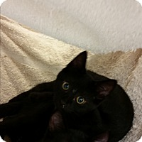 Domestic Shorthair Kitten for adoption in Chippewa Falls, Wisconsin - Yolanda