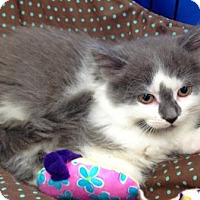 Adopt A Pet :: Kaitlyn - Richmond Hill, ON