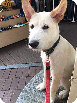 Jindo/Old English Sheepdog Mix Puppy for adoption in Los Angeles, California - RYAN
