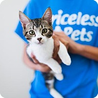 Domestic Shorthair Kitten for adoption in Chino Hills, California - Lewis - Claremont
