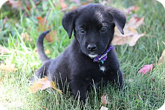 Flat-Coated Retriever Mix Puppy for adoption in Glastonbury, Connecticut - Little Pink-ADOPTED