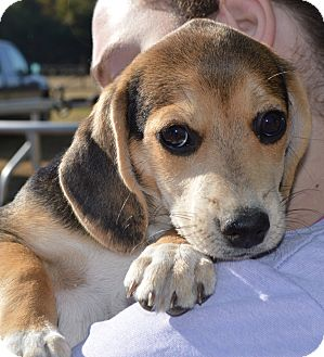 Beagle Mix Puppy for adoption in East Windsor, Connecticut - Cookydoo-ADOPTION PENDING