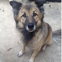 German Shepherd Dog/Border Collie Mix Dog for adoption in Austin, Texas - Ravishing Roxxie