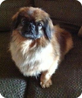 Pekingese Dog for adoption in Mary Esther, Florida - Teddy