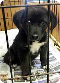 Labrador Retriever Mix Puppy for adoption in Livingston, Texas - Bud