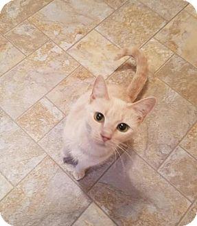 Domestic Shorthair Cat for adoption in Fairfax, Virginia - Margo