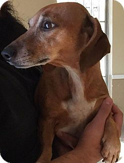 Dachshund Dog for adoption in Humble, Texas - Holly