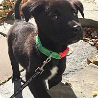 Adopt A Pet :: Milo - MCLEAN, VA