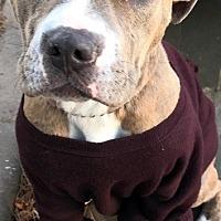 Adopt A Pet :: Gia - Staten Island, NY