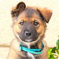 Adopt A Pet :: Nick von Wuste - Thousand Oaks, CA