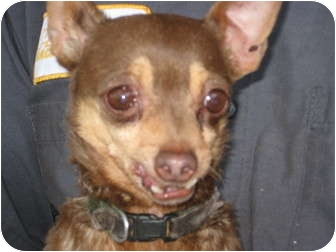 Chihuahua Dog for adoption in Sun Valley, California - Pedro