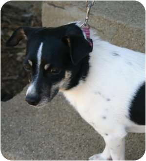 Rat Terrier Mix Dog for adoption in Carmel, Indiana - Luke