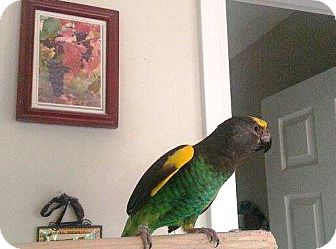 Poicephalus (including Senegal and Meyer's) for adoption in Shawnee Mission, Kansas - Tamone