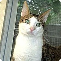 Domestic Shorthair Cat for adoption in Huntington, New York - Smiley
