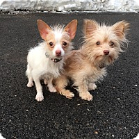 Adopt A Pet :: Susie and Simone - Chicago, IL