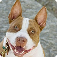 Pit Bull Terrier Dog for adoption in Charlotte, Michigan - Everyone loves RAYMOND!