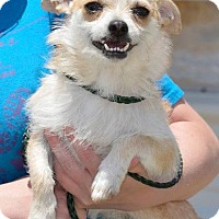 Terrier (Unknown Type, Small) Dog for adoption in Midland, Texas - Shirley