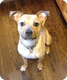 Feist Mix Dog for adoption in Birmingham, Michigan - FERGIE