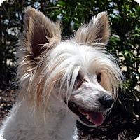 Adopt A Pet :: Tony-Fostered in KC - Bridgeton, MO