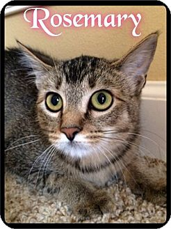 Domestic Shorthair Cat for adoption in Maumelle, Arkansas - Rosemary - Foster 2015