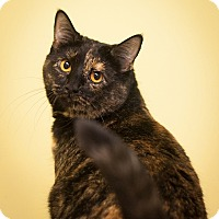 Domestic Shorthair Cat for adoption in Circleville, Ohio - Tulip