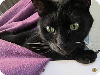 Bombay Cat for adoption in Orange, California - Enigma